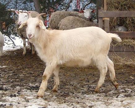 Image result for koza, kozička